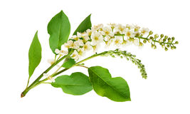 Closeup of bird-cherry leaves, flowers and buds Stock Image