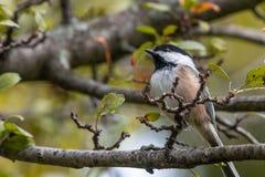 Chickadee in a tree stock photos