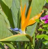Closeup of bird of paradise flower Stock Photo