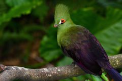 Closeup bird photo of a green Guinea turaco, or Tauraco persa Stock Photography