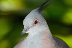 Closeup bird portrait of a crested pigeon, or Ocyphaps lophotes Stock Photography