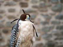 Falconry - bird in hood. Royalty Free Stock Photos