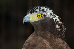 Closeup bird of prey portrait of a crested serpent eagle Stock Photos