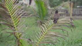 Closeup of bird sitting and flying away from a palm tree. Closeup of Myna bird sitting and flying away from a palm tree in Phuket, Thailand - video in slow stock footage