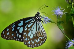 Closeup of a black and blue butterfly Stock Photos