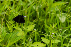 Closeup of black butterfly with white markings. Resting on the stem of a green plant royalty free stock photo