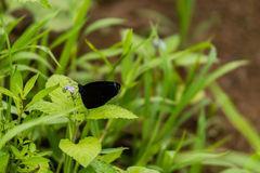 Closeup of black butterfly with white markings. Resting on the stem of a green plant stock images