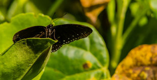Closeup of black butterfly with white markings. Resting on the stem of a green plant royalty free stock photography