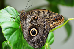 Black owl butterfly Royalty Free Stock Images