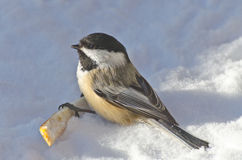 Closeup of a Black-capped Chickadee (Poecile atricapillus) Royalty Free Stock Images