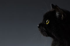 Closeup Black Cat Face in Profile view on Dark. Background stock photography
