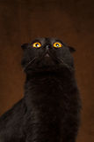 Closeup Black Cat Looking up with big eyes on brown Stock Photo