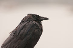 Closeup of black crow Stock Images