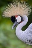 Closeup Black Crowned Crane Stock Photo