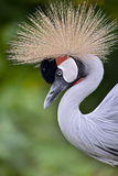 Closeup Black Crowned Crane Stock Photo