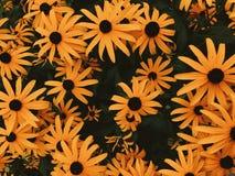 Closeup Of Black-eyed Susans Stock Photo