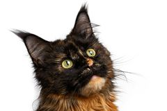 Closeup black with ginger Maine Coon cat isolated Royalty Free Stock Photography
