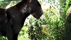 Closeup of a black jaguar walking in a forest scenery, rare spotted wild cat, Near threatened animal specie from America