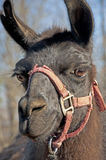 Closeup of a black llama with a red halter. Royalty Free Stock Photos
