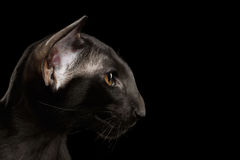 Closeup Black Oriental Cat With Big Ears in Profile, Isolated Stock Photo