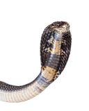 Closeup of a Black Pakistani Cobra Snake Royalty Free Stock Photography