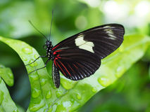 Closeup of Black and Red Doris Butterfly Stock Photography