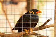 Closeup of black speaker bird in cage Royalty Free Stock Images
