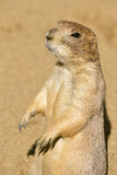 Closeup Black-tailed Prairie Dog Royalty Free Stock Photography