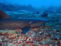 Closeup with black tip shark in underwater world diving in Sabah, Borneo. royalty free stock image