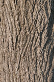 Closeup of Black Walnut Bark Royalty Free Stock Photography