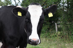 Closeup of a black and white cow. Royalty Free Stock Image
