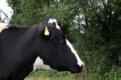 Closeup of a black and white cow Stock Photo