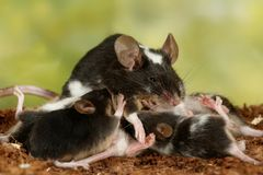 Closeup black and white decorative mouse breastfeed the offspring on green leaves background. Closeup black and white decorative mouse M.m.molossinus breastfeed Stock Photo