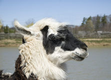 Closeup of black and white lama Stock Images