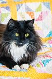 Black and white long haired cat resting on quilt cover. Closeup of black and white long haired cat resting on quilt cover Royalty Free Stock Photo