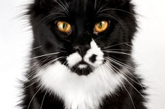 Closeup black and white Maine Coon. On white background Stock Image