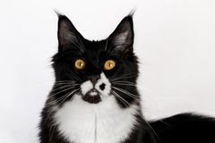 Closeup black and white Maine Coon. On white background Royalty Free Stock Photography