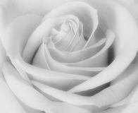 Closeup black and white of rose. Bud blooming Royalty Free Stock Photos