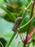 Closeup of a black and yellow butterfly caterpillar royalty free stock image