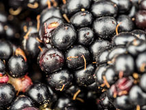 Closeup of blackberries Stock Image