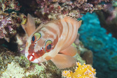 Closeup of blacktip grouper on reef Stock Images