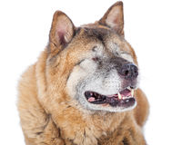 Closeup of Blind Akita Dog Royalty Free Stock Image