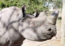 Closeup of a blind eye of Rhino kept at orphanage at Ol Pejeta. A blind black Rhinoceros kept at orphanage, Ol Pejeta Conservanc Stock Images