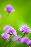 Closeup of Blooming Allium With Blurry Green Background. A Closeup of Blooming Allium With Blurry Green Background Royalty Free Stock Photography