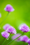 Closeup of Blooming Allium With Blurry Green Background. A Closeup of Blooming Allium With Blurry Green Background Stock Image