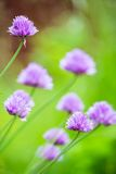 Closeup of Blooming Allium With Blurry Green Background. A Closeup of Blooming Allium With Blurry Green Background Royalty Free Stock Image