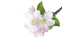 Closeup of blooming apple twig. Stock Image