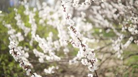 Closeup blooming apricot tree branch. Closeup blooming apricot tree branch swaying in the wind stock video