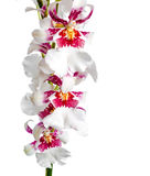 Closeup of blooming beautiful branch dark cherry with white orch Stock Images