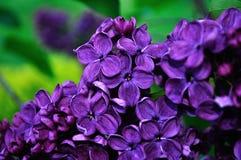 Closeup of blooming beautiful dark pink lilac flowers. Stock Photos